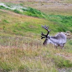 Un renne à Longyearbyen