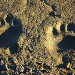 Traces d'ours polaire