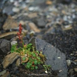 Végétation du Svalbard