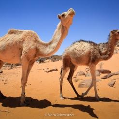 Dromadaires dans l'Adrar