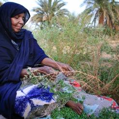 Femme récoltant des feuilles de henné, Maaden, Adrar